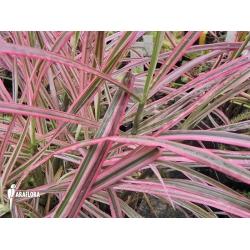 Pennisetum Setaceum Fireworks Grass