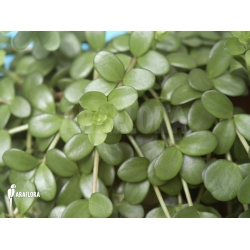 Peperomia hoffmannii  leafs close up