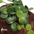 Peperomia pecuniifolia