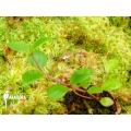 Peperomia species Ecuador no.4