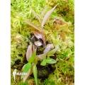 Peperomia species Ecuador no.6