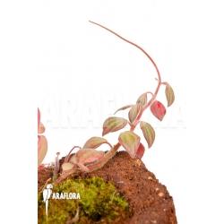 Peperomia x rauvema 'S'