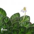Petrocosmea rosettifolia
