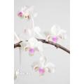 Orchid 'Phalaenopsis celebensis'