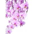 Orchid 'Phalaenopsis schilleriana'