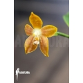 Orchid 'Phalaenopsis venosa'