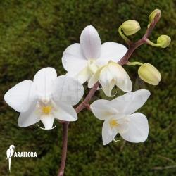 Phalaenopsis x snow calimero
