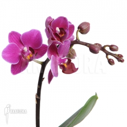 Phalaenopsis x Violet calimero