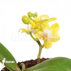 Phalaenopsis x 'Yellow dragons'