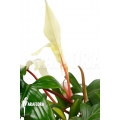 Philodendron 'Florida Ghost' 'L'