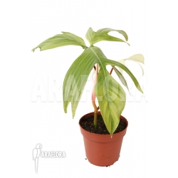 Philodendron Florida Ghost 'M'