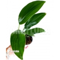 Philodendron 'Kylin tail'