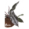 Philodendron 'Lisa' starter