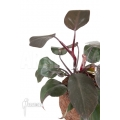Philodendron 'New Red'