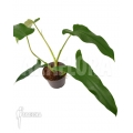 Philodendron atabapoense 'M' cutting