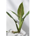 Philodendron cruentum