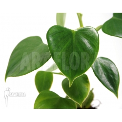 Philodendron fibrillosum