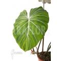 Philodendron gloriosum 'B' 'L'