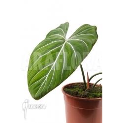 Philodendron gloriosum 'B'  'M'