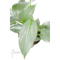Philodendron hastatum 'Silver sword' 'M'