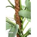 Philodendron hastatum 'Silver sword'