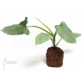 Philodendron hastatum 'Silver sword' starter