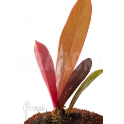 Philodendron linnaei