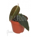 Philodendron melanochrysum 'S'