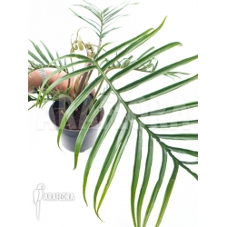 Philodendron polypodioides (tortum) M