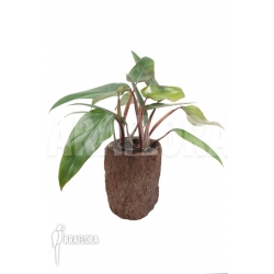 Philodendron ruby