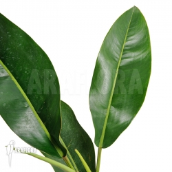 Philodendron species Duida