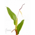 Philodendron species Murback II
