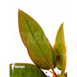 Philodendron superbum