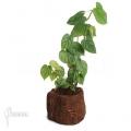 Philodendron variifolium 'XL'