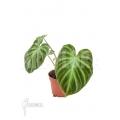Philodendron verrucosum 'M'