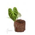 Philodendron verrucosum 'Starter'
