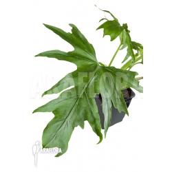 Philodendron warszewiczii