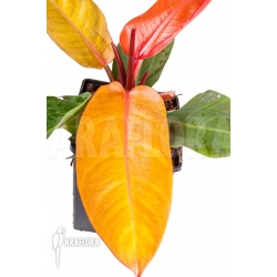 Philodendron x 'Prince of Orange'