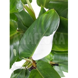 Philodendron x 'White Princess'