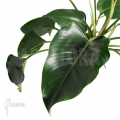Philodendron x 'Green beauty'