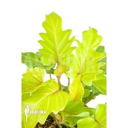 "Philodendron xanadu Gold ""L"""