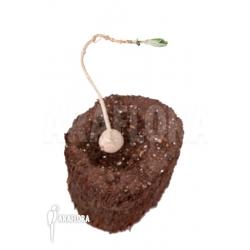 Phyllanthus mirabilis 'Starter'