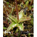 Butterworth ´Pinguicula alpina'