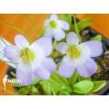Butterworth 'Pinguicula crystallina subsp. Hirtiflora'