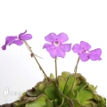 Butterworth 'Pinguicula cyclosecta'