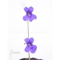 Butterworth ´Pinguicula grandiflora'