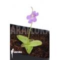 Butterworth 'Pinguicula grandiflora'