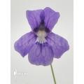 Butterworth ´Pinguicula grandiflora'