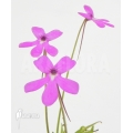 Butterworth ´Pinguicula moctezumae'