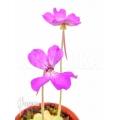 Butterworth 'Pinguicula moctezumae x P. agnata'